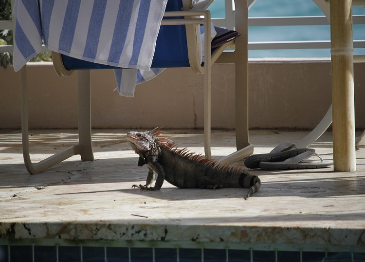 What to do with Kids in St Thomas USVI - Iguana in St Thomas