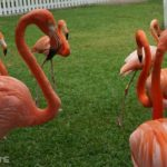 Things to do in Nassau Bahamas with Kids - watch the march of the flamingos at Ardastra Gardens