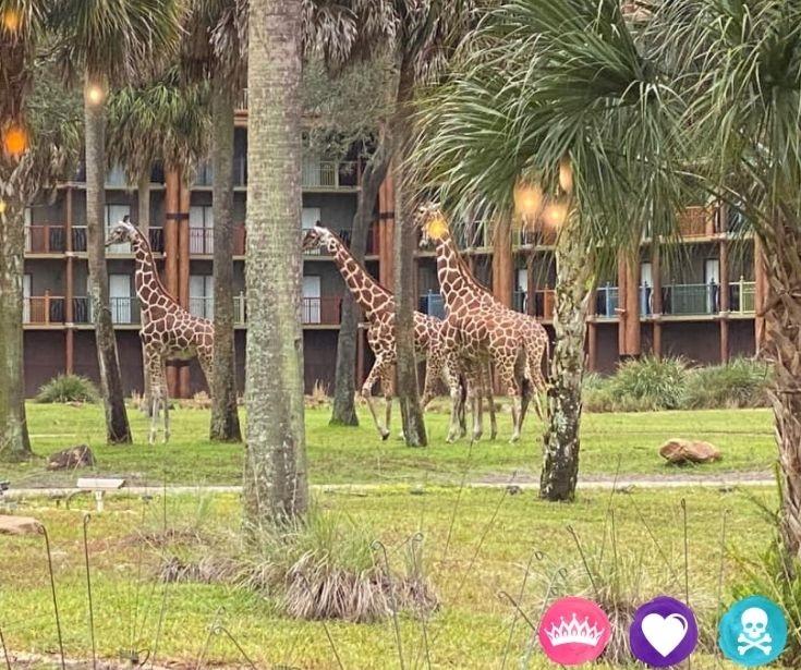 How to Choose a Disney World Resort - See the Kidani Giraffes at Animal Kingdom Lodge